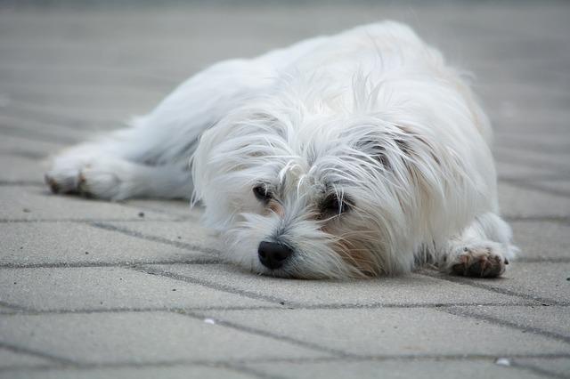 maltézský psík.jpg